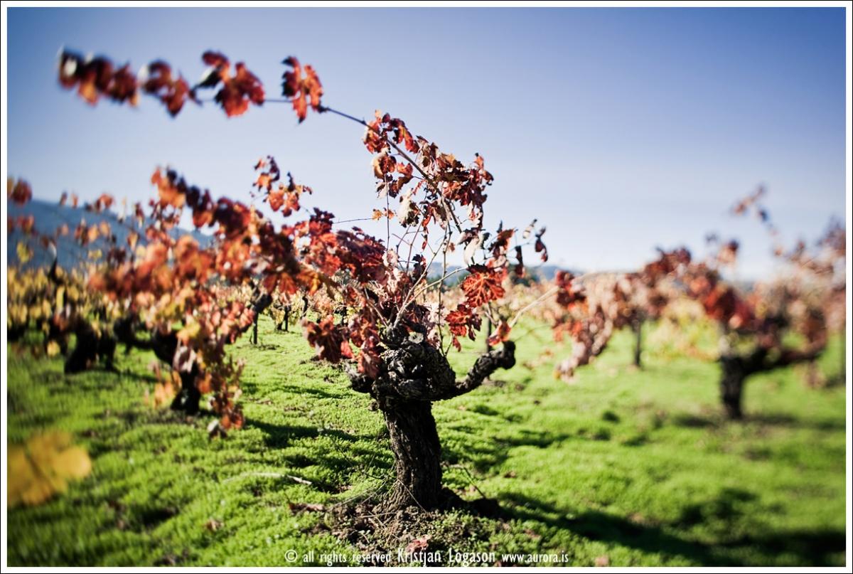 Zinfandel vines
